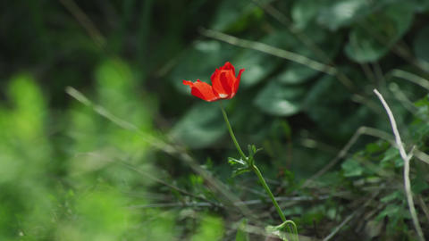 Royalty Free Stock Video Footage of a lone red flower in the breeze shot in Isra Footage