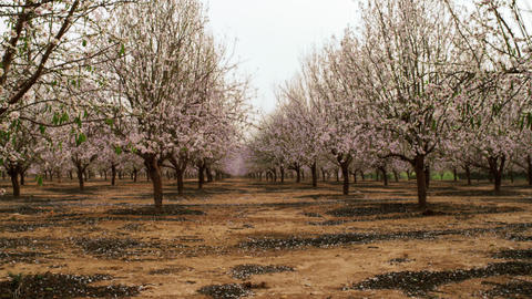 Royalty Free Stock Video Footage of rows in a blooming orchard shot in Israel at Footage