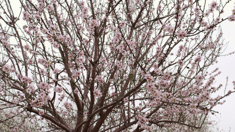 Royalty Free Stock Video Footage of pink blooming tree branches shot in Israel a Footage