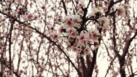 Royalty Free Stock Video Footage of white and pink orchard blossoms shot in Isra Footage