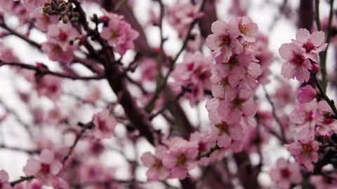 Royalty Free Stock Video Footage of pink tree blossoms shot in Israel at 4k with Footage