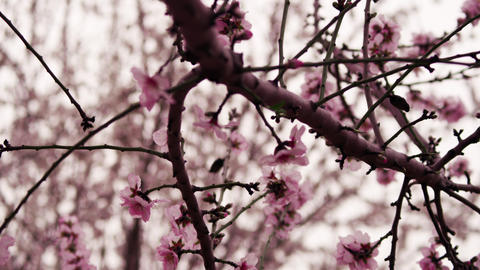 Royalty Free Stock Video Footage of a blossoming pink tree branch shot in Israel Footage