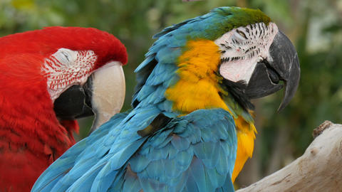Scarlet macaw and blue-and-yellow macaw (Ara ararauna) extreme closeup Footage