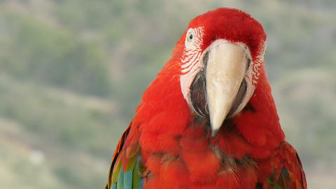 Scarlet macaw extreme closeup Footage