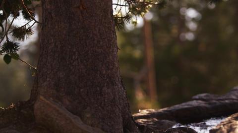 Close-up shot of a pine tree trunk near Lake Tahoe, California Footage