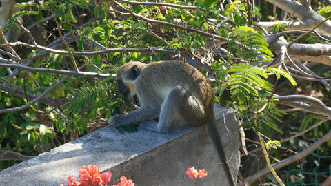 vervet monkey (Chlorocebus pygerythrus) in Saint Martin Footage