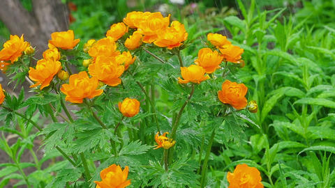 Trollius asiaticus orange flowers under rain Footage