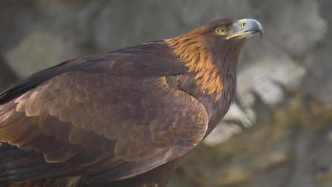 Golden eagle close-up Footage