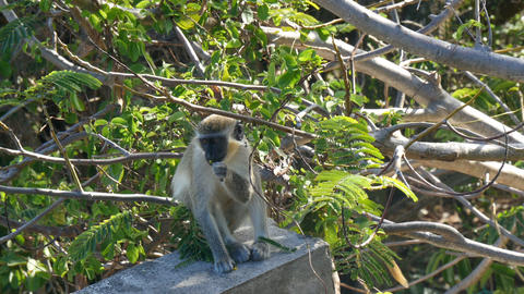vervet monkey (Chlorocebus pygerythrus) eating leaves Footage