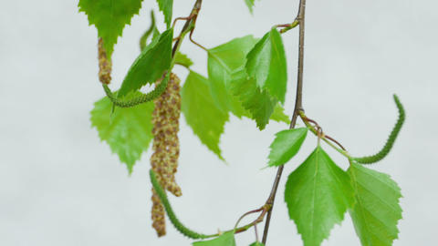 Birch twig with catkins Footage