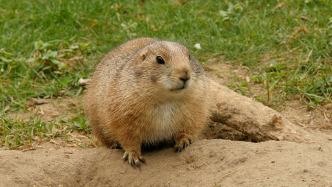 Black-tailed prairie dog in alert closeup Footage
