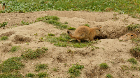 Black-tailed prairie dogs eating at burrow entrance Live Action