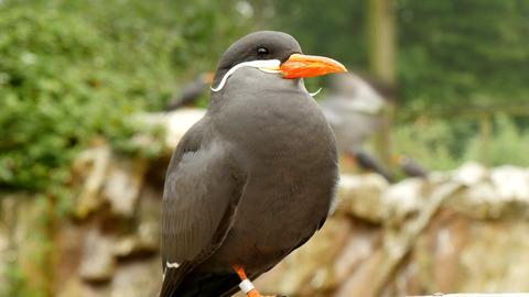 Inca tern (larosterna inca) closeup Live Action