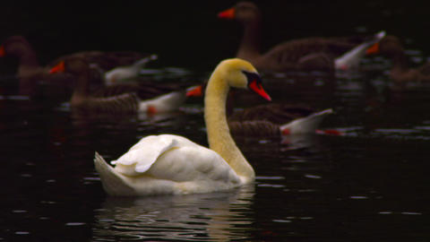 Lonely swan passing ducks Footage