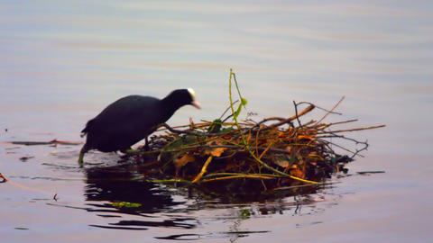 Black coot building a nest on water Footage