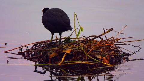 Eurasian Coot in its nest on water Footage