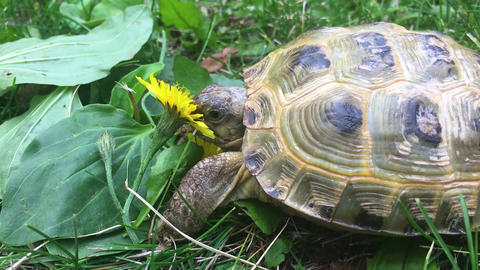 A turtle eating flower Footage