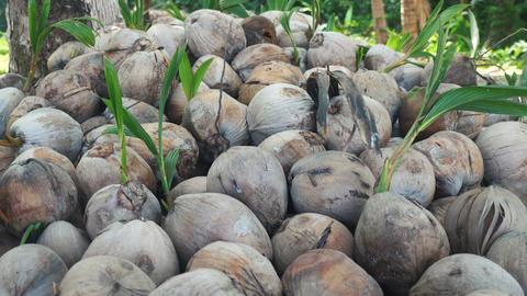 A pile of coconuts near a coconut tree Footage