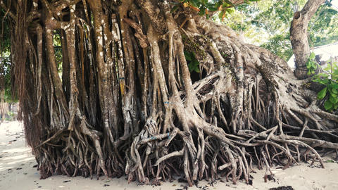 Big mangrove tree on a tropical beach in philippines Footage