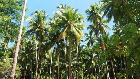Coconut tree plantation Footage