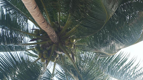 Coconut tree with many big coconuts Footage