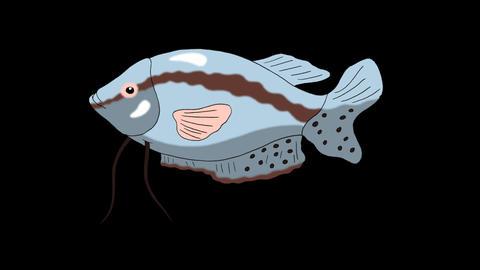 Big Gray Aquarium Fish Gourami Alpha Matte looped Animation