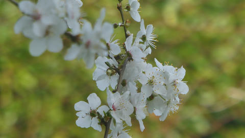 closeup of plum blossom Live Action