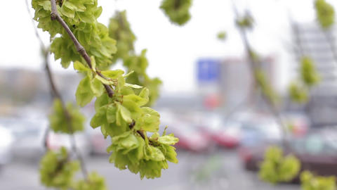 Green leaves on the branches moving through the wind blurred background city Live Action