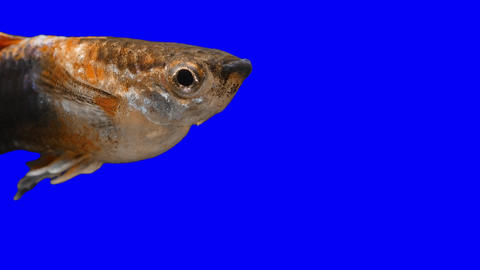 Fish Guppy Footage