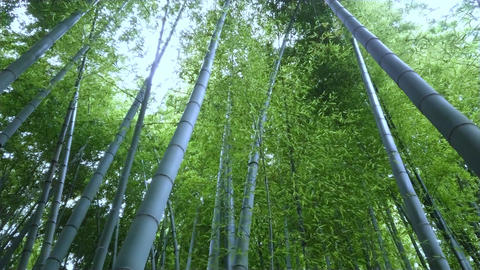 Bamboo Forest in Japan - a wonderful place for recreation Live Action
