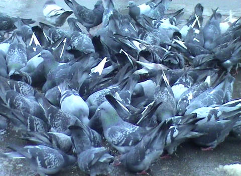 pigeons in the city Stock Video Footage