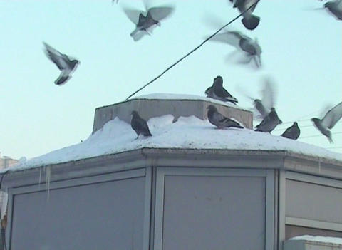 pigeons in the city Footage