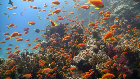 Colorful Fish on Vibrant Coral Reef, Red sea Stock Video Footage