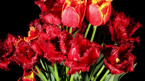 Blooming tulips on the black background, timelapse Stock Video Footage