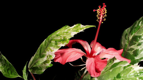 Blooming pink Hibiscus on a black background (Hibiscus... Stock Video Footage