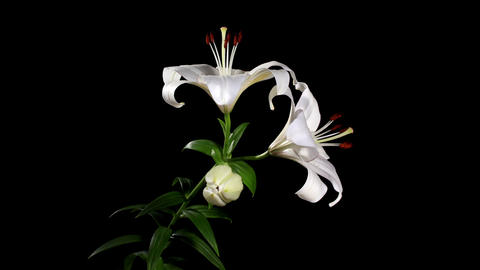 Blooming white lily on the black background (Lilium monadelphum subsp. armenum), timelapse Footage
