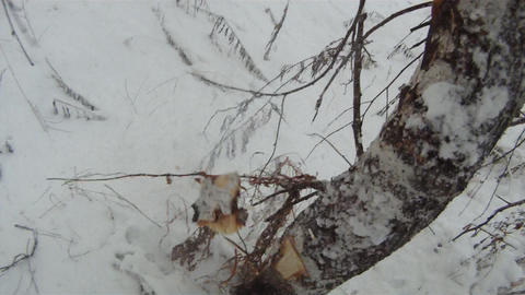 Chop down tree 2 Stock Video Footage