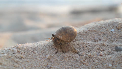 CLOSE UP: Hermit crab on the sandy beach Footage