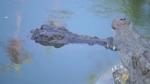 Crocodile opening mouth to bask Alligator (yacar) Footage