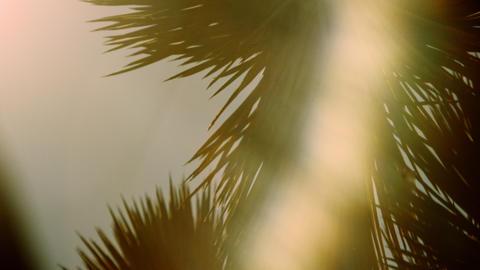 Pan joshua tree head during sunset Footage