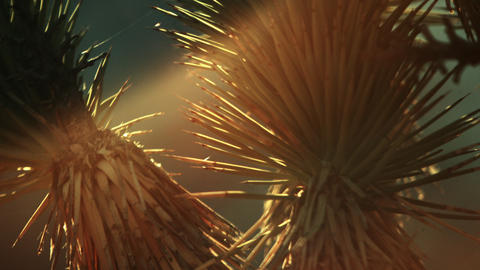 Close up of joshua tree needles during sunset Footage