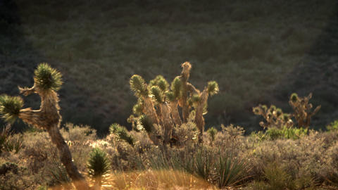 Landscape of joshua trees poking above desert brush during the day Footage