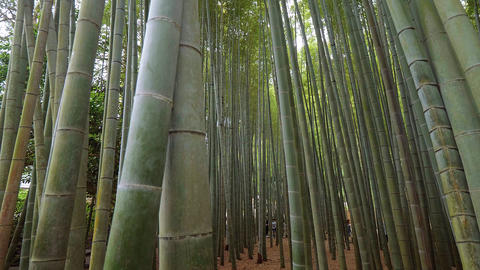 Bamboo Forest in Japan - a wonderful place for recreation - TOKYO, JAPAN - JUNE Live Action