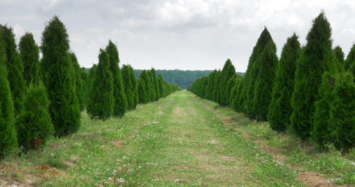 White cedar perspective walkway. Thuja occidentalis evergreen. 4k Ultra HD Live Action