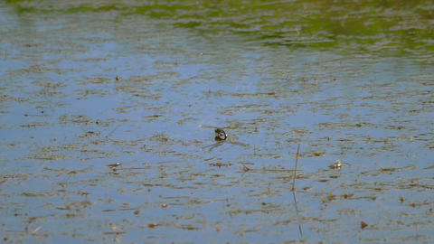 Dragonfly lays eggs Footage