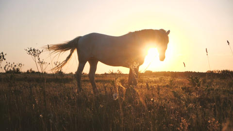 White horse and sun shining under its head in a field in autumn in slo-mo Live Action