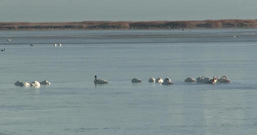 Tundra Swans Footage