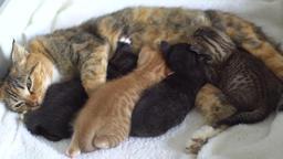 kittens suck milk from mom cats Footage