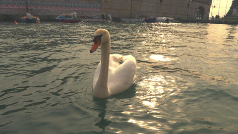Swan swimming on the water GIF