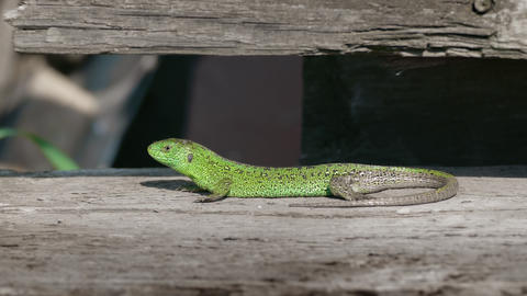 Sand Lizard Rest In Nature Footage